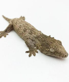 Moro Leachianus Gecko CB20 1