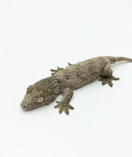 Nuu Ami x Mt Koghis Leachianus Gecko CB20