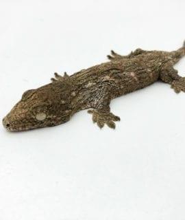 Mt Koghis Leachianus Gecko CB20