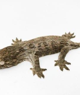 Mt Koghis Leachianus Gecko CB20 1