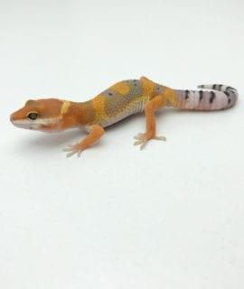 Lavender Mandarin Leopard Gecko CB20