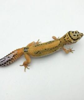 Female Fire Bold Leopard Gecko CB20