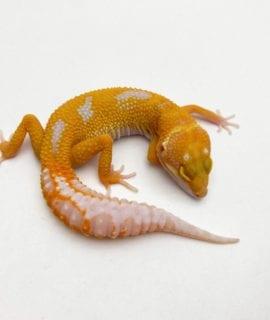 High Contrast Leopard Gecko CB20