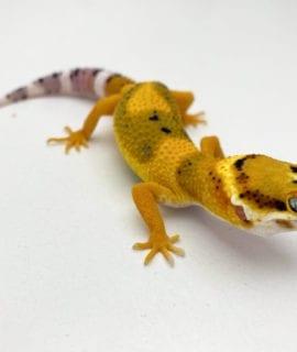 Fire Bold High Contrast Leopard Gecko CB20