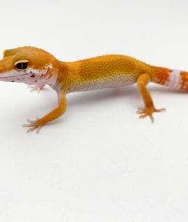 Super Hypo Tangerine Carrot Tail Stripe Leopard Gecko CB20