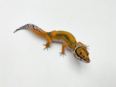 Stripe Leopard Gecko 2 CB20