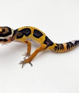 Stripe Leopard Gecko CB20