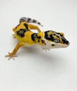 Lavender High Contrast Leopard Gecko CB20