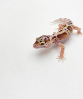 Mack Snow Bell Enigma Leopard Gecko CB20