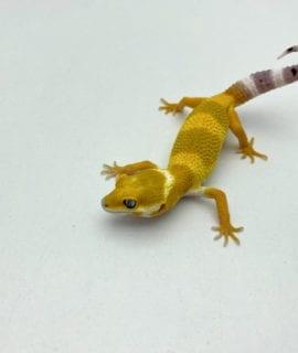 Super Hypo Super Tangerine Carrot Tail Leopard Gecko CB20