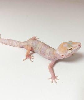 Snow Tangerine Leopard Gecko CB20