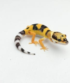 Bandit Tangerine Leopard Gecko CB20