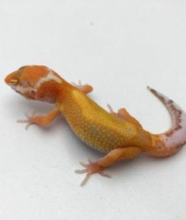 Tangerine Bell Leopard Gecko CB20