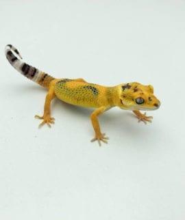Super Tangerine High Contrast Leopard Gecko CB20