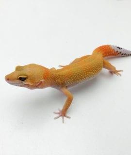 Hypo Tangerine Leopard Gecko CB20
