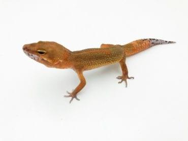 Dark NDBE Hypo Tangerine Leopard Gecko CB20