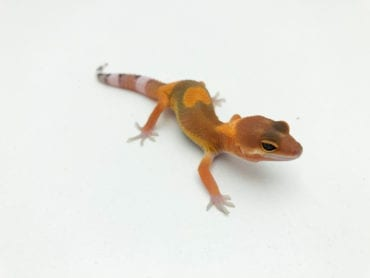 Dark Hypo Tangerine Leopard Gecko CB20