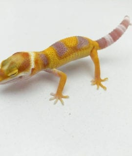 Blood Mandarin Tornado Albino Leopard Gecko CB20