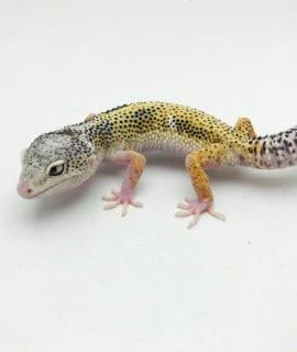 Super Contrast Snow Leopard Gecko CB20