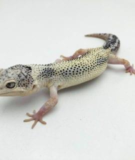 Super Contrast Snow Leopard Gecko 2 CB20