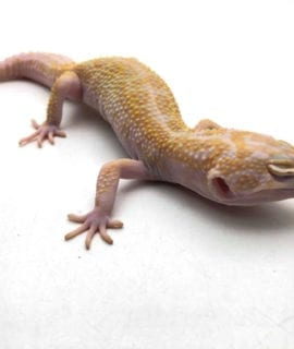 Male Super Tangerine Albino Snow Leopard Gecko 55g CB