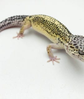 Female Super Contrast Snow Leopard Gecko 40-60g CB