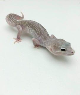 Female Blizzard Leopard Gecko 40-50g CB