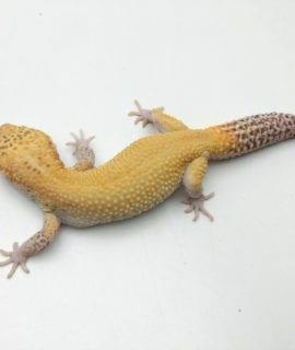 Male Hypo Leopard Gecko 75g CB