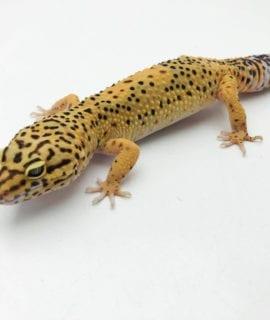 Female Tangerine Leopard Gecko 55-60g CB
