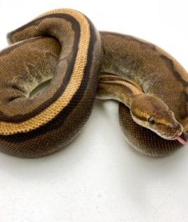 Female Genetic Stripe Royal Python 1180g CB