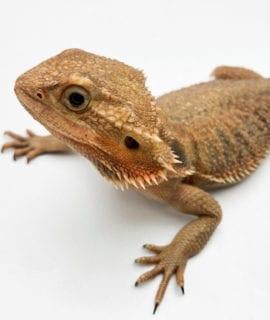 Female Translucent Dragon CB Adult