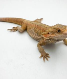 Male Hypo Translucent Dragon CB Adult