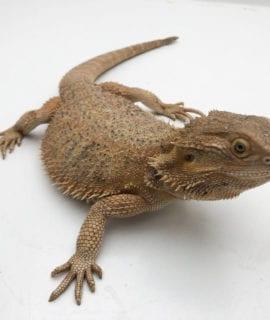 Female het Hypo Bearded Dragon CB Adult