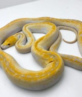 Female Lavender Albino Pied Reticulated Python CB19