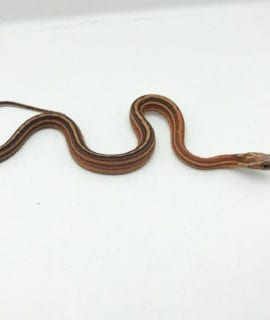 Female Scaleless Tessera Corn Snake CB20