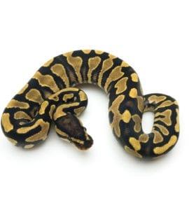 Female Yellowbelly het Pied Royal Python CB20