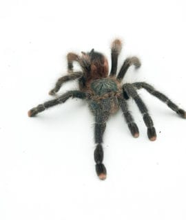 Female Pink Toe Tarantula Sub Adult CB