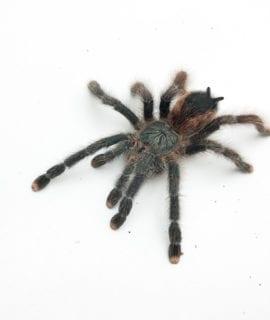 Female Pink Toe Tarantula Sub Adult CB