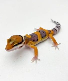 Fire Bold Leopard Gecko CB20