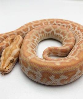 Male Pearl het Labryinth Burmese Python CB20