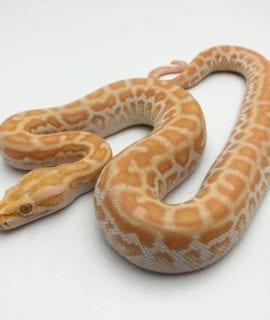 Female Pearl het Labryinth Burmese Python CB20