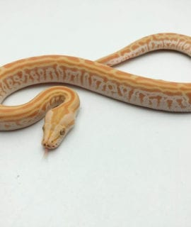 Male Pearl Labryinth Burmese Python CB20