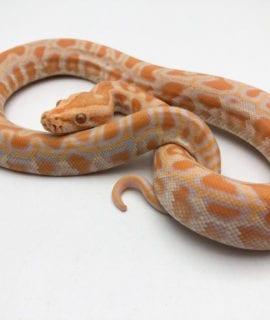 Female Albino Burmese Python CB20