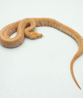 Female Albino Labyrinth Burmese Python CB20