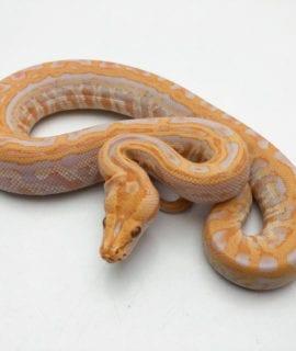 Male Albino Labyrinth Burmese Python CB20