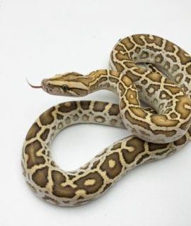Female Hypo Burmese Python CB20