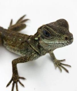Weber's Sailfin Lizard CF