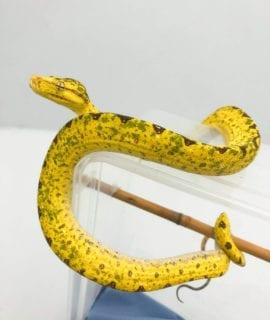 Manokwari x Biak Green Tree Python CB20 2