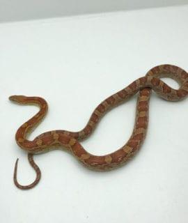 Female Classic Corn Snake CB19
