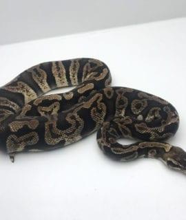 Female GHI Pastel poss het Ghost Royal Python CB 1250g